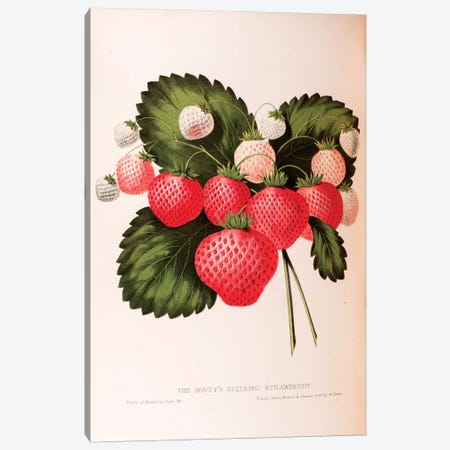 Hovey's Seedling Strawberry Canvas Print #SHA1} by William Sharp Canvas Print