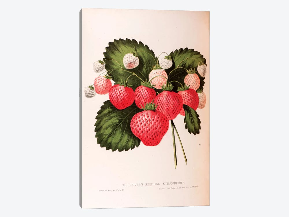 Hovey's Seedling Strawberry by William Sharp 1-piece Canvas Artwork