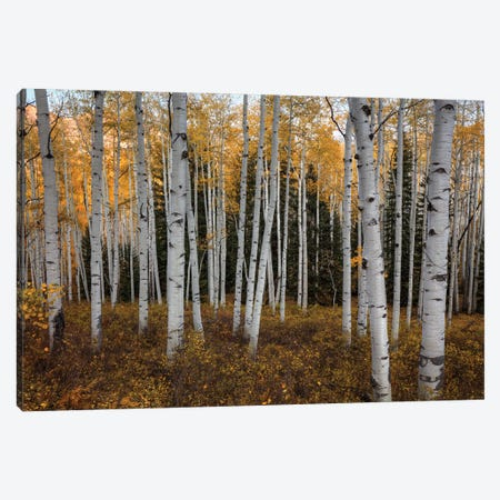 Aspen Forest In Autumn Canvas Print #SHL308} by Bill Sherrell Canvas Art