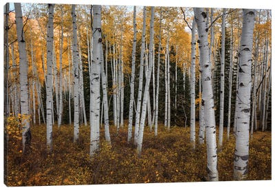 Aspen Forest In Autumn Canvas Art Print