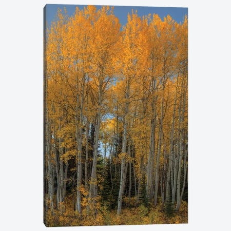 Aspen Autumn Flames Canvas Print #SHL311} by Bill Sherrell Art Print