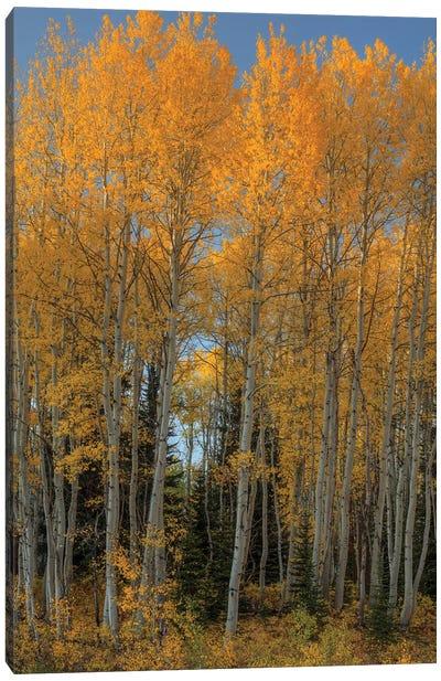 Aspen Autumn Flames Canvas Art Print