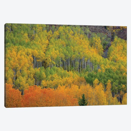 Colorful Aspen Forest Canvas Print #SHL318} by Bill Sherrell Canvas Art Print