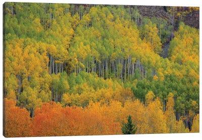 Colorful Aspen Forest Canvas Art Print