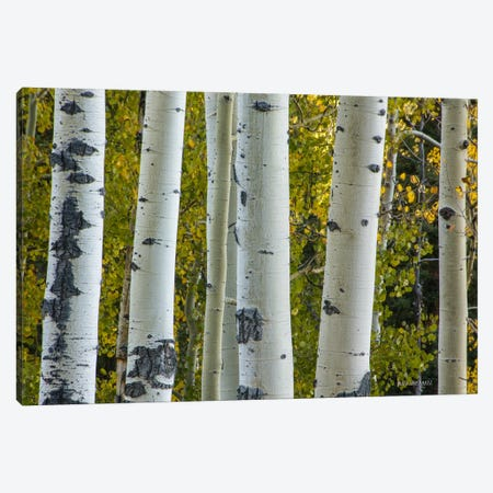 Aspen Trunks Canvas Print #SHL33} by Bill Sherrell Canvas Print