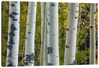 Aspen Trunks Canvas Art Print