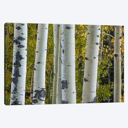 Aspen Trunks Canvas Print #SHL33} by Bill Sherrell Canvas Print