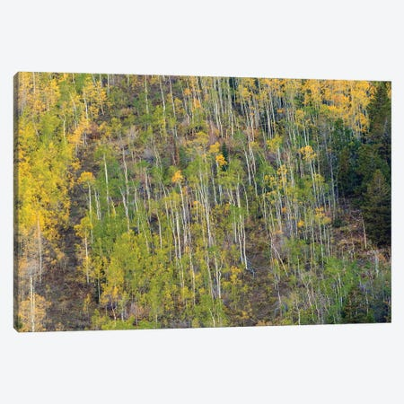 Aspen Grace Canvas Print #SHL342} by Bill Sherrell Canvas Art