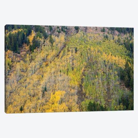 Aspens In Autumn Canvas Print #SHL343} by Bill Sherrell Canvas Artwork