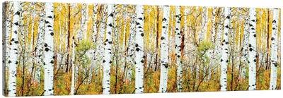 Aspen Trees Panorama ,Colorado Canvas Art Print