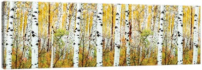 Aspen Trees Panorama ,Colorado Canvas Art Print