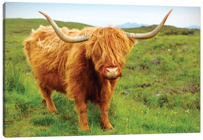 Highland Cow II Canvas Art Print
