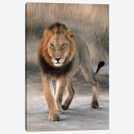 African Lion Walking Canvas Print #SLG38} by Rachel Stribbling Art Print