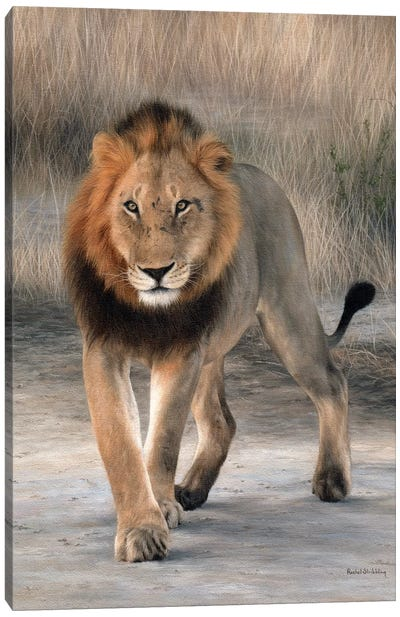 African Lion Walking Canvas Art Print