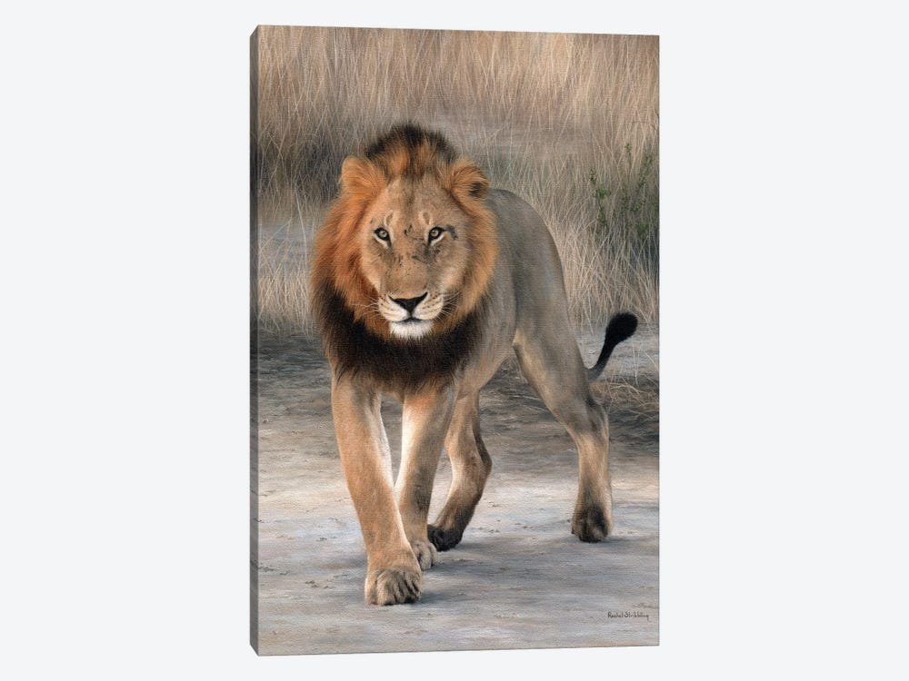 African Lion Walking by Rachel Stribbling 1-piece Canvas Print