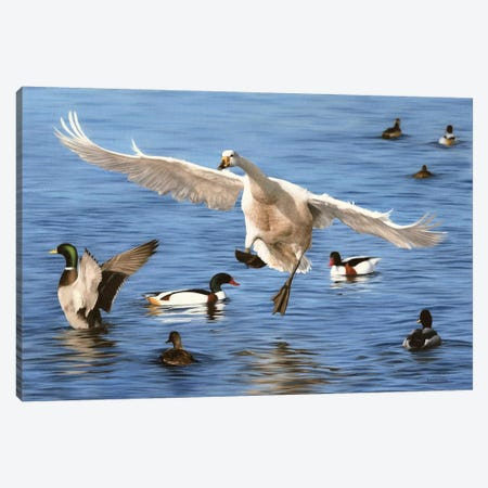 Swan Landing Canvas Print #SLG51} by Rachel Stribbling Canvas Print