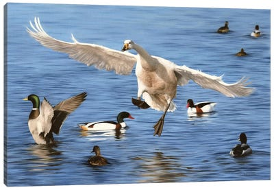 Swan Landing Canvas Art Print