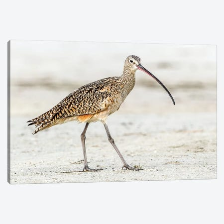 Long Billed Curlew Canvas Print #SLK28} by Shelley Lake Canvas Wall Art