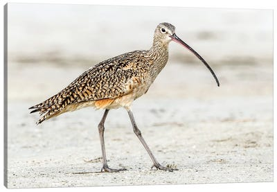 Long Billed Curlew Canvas Art Print