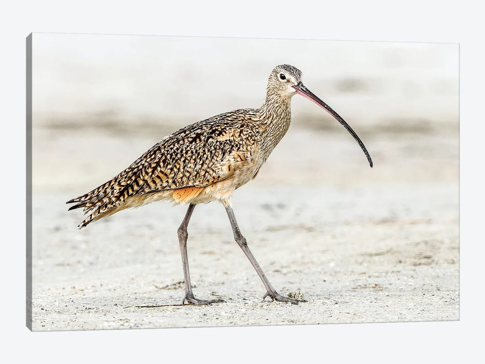 Long Billed Curlew by Shelley Lake 1-piece Canvas Artwork