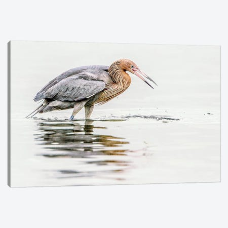 Reddish Egret Canvas Print #SLK32} by Shelley Lake Canvas Print
