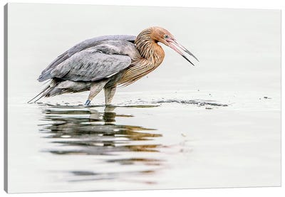 Reddish Egret Canvas Art Print
