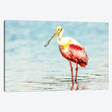 Roseatte Spoonbill Canvas Print #SLK33} by Shelley Lake Canvas Art Print