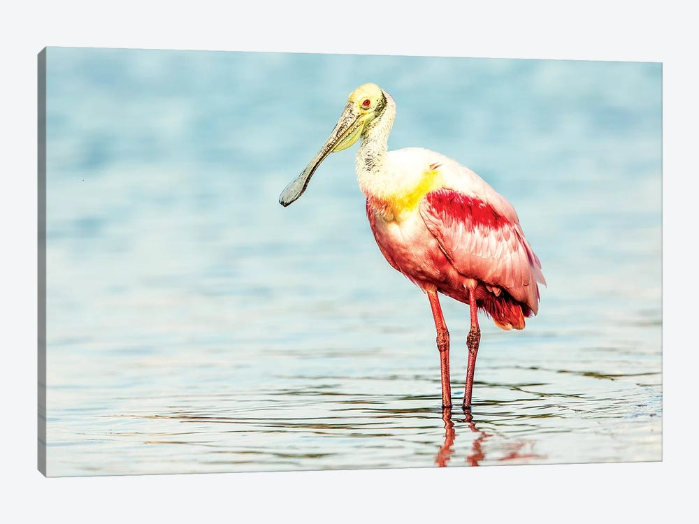 Roseatte Spoonbill by Shelley Lake 1-piece Canvas Wall Art
