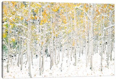Quaking Aspens Canvas Art Print
