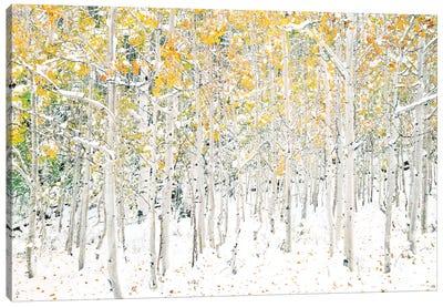 Quaking Aspens Canvas Art Print