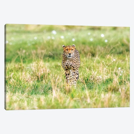 Cheetah Canvas Print #SLK9} by Shelley Lake Art Print