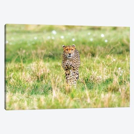 Cheetah Canvas Print #SLK9} by Shelley Lake Art Print