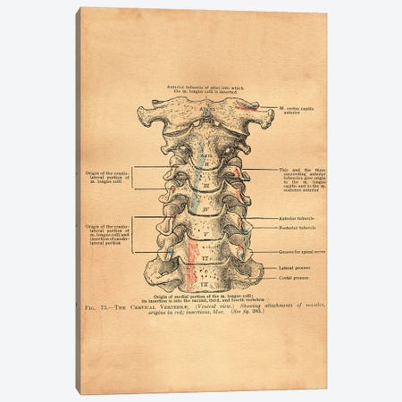 Cervical Vertebrae Canvas Print #SMD30} by Tea Stained Madness Canvas Print