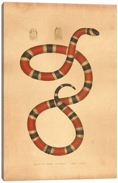 Coral Snake Canvas Art Print