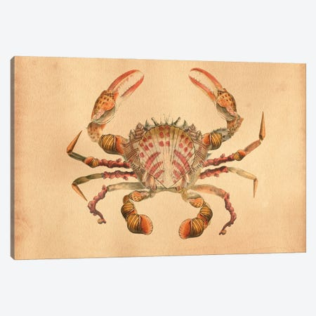 Crab Sea Shells Canvas Print #SMD33} by Tea Stained Madness Canvas Print
