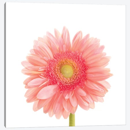 Gerbera Daisy Canvas Print #SMI14} by Susan Michal Canvas Art Print