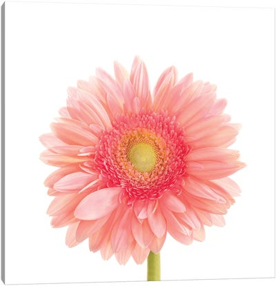 Gerbera Daisy Canvas Art Print