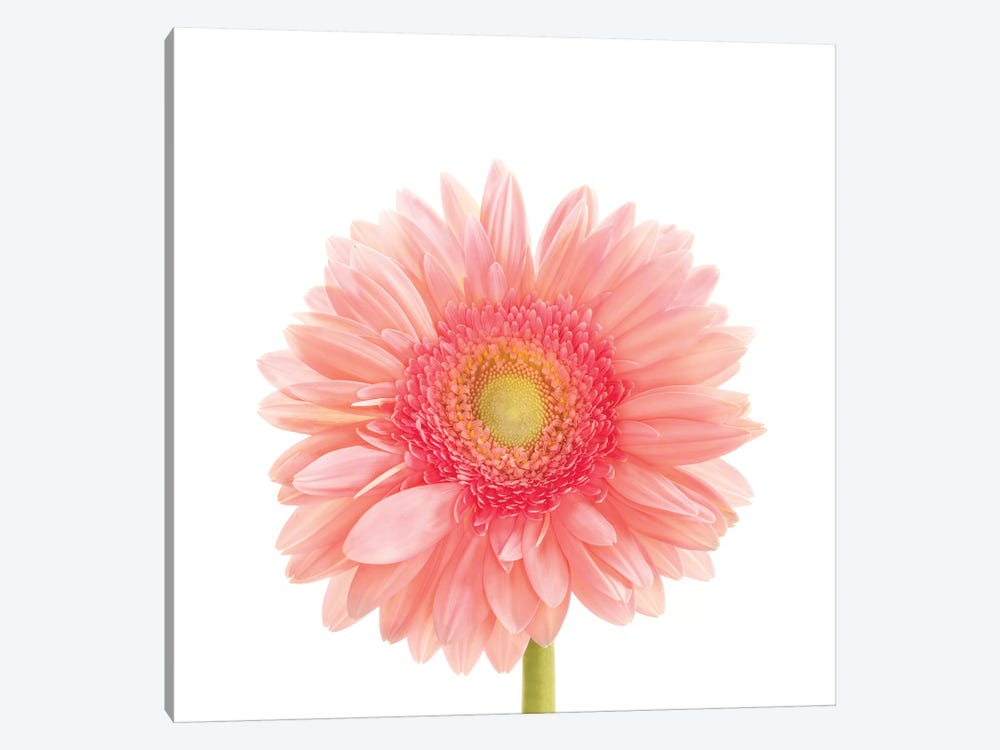 Gerbera Daisy by Susan Michal 1-piece Canvas Art