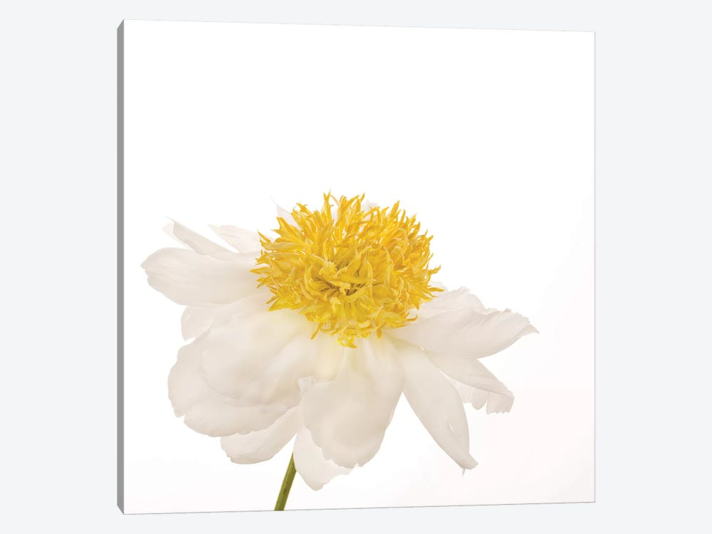 Gold Standard Peony by Susan Michal 1-piece Art Print