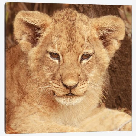Lion Cub Canvas Print #SMI17} by Susan Michal Art Print
