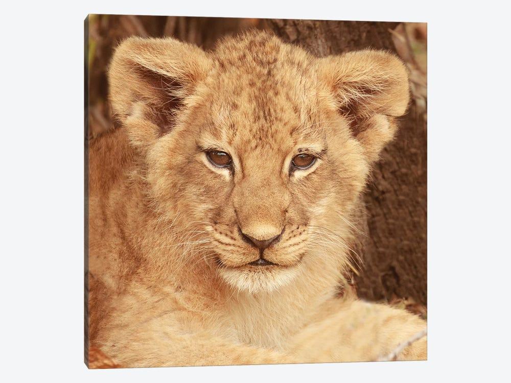 Lion Cub by Susan Michal 1-piece Art Print
