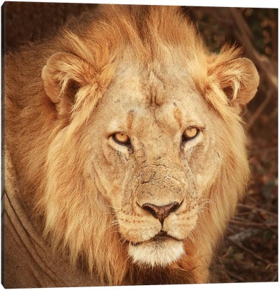 Lion Up Close Canvas Art Print