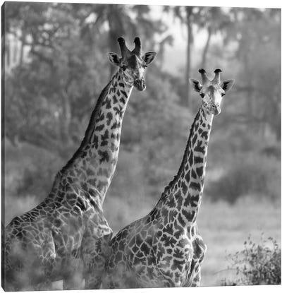 A Pair Of Giraffes Canvas Art Print