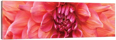 Perfect Dahlia Canvas Art Print