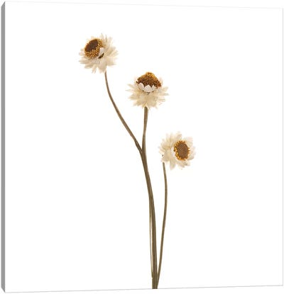 Strawflower Canvas Art Print