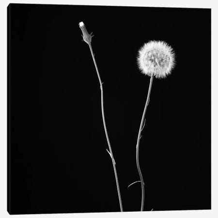 Wish Flower II Canvas Print #SMI28} by Susan Michal Canvas Art Print