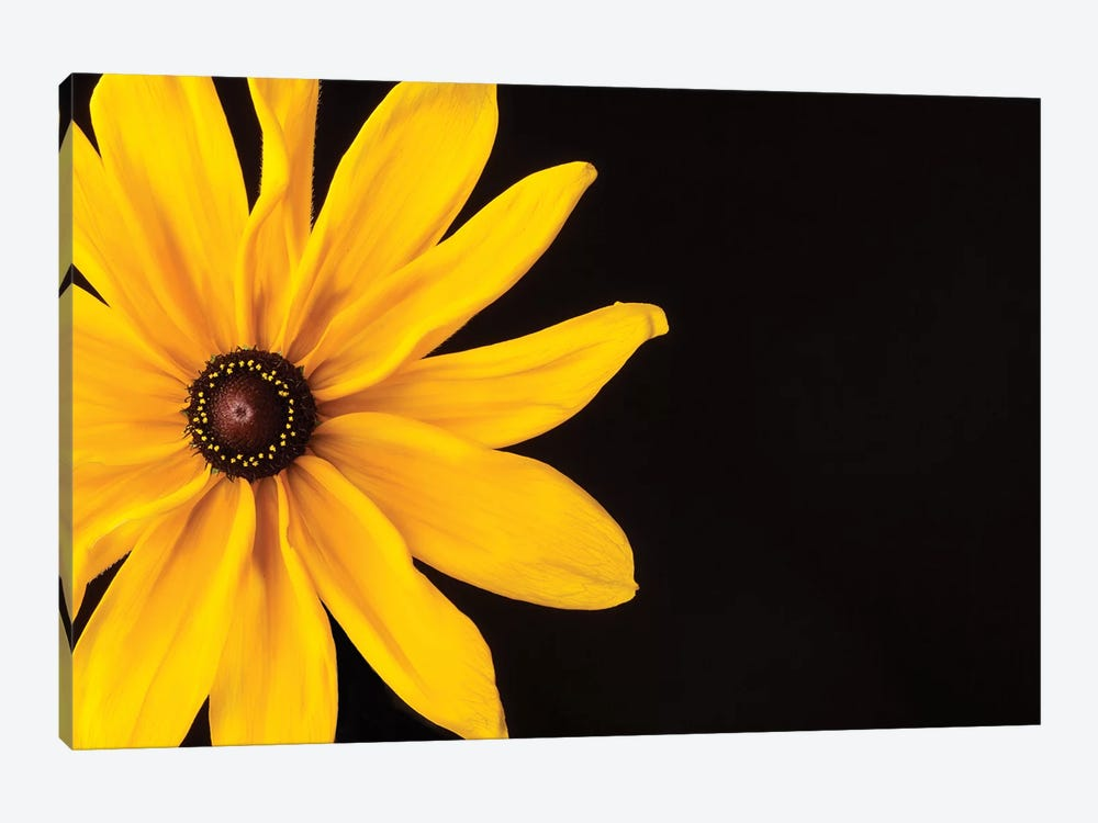 Black Eyed Susan I by Susan Michal 1-piece Canvas Art Print