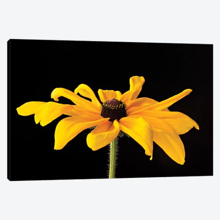 Black Eyed Susan III Canvas Print #SMI3} by Susan Michal Canvas Artwork