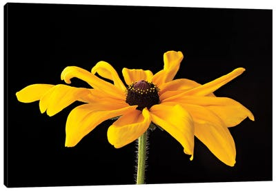 Black Eyed Susan III Canvas Art Print