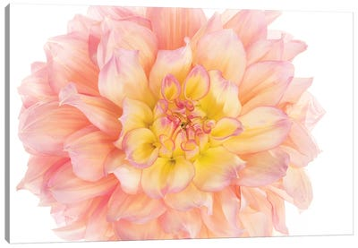 Coral Dahlia Canvas Art Print